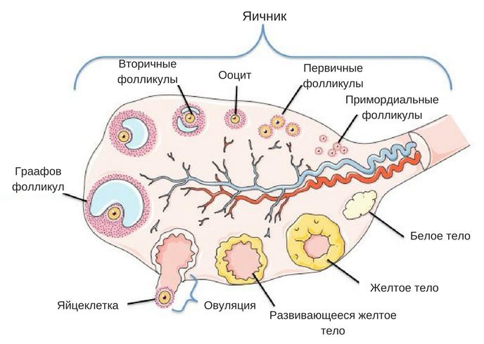 причины синдрома истощенных яичников