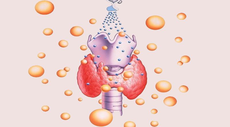 щитовидная железа регуляция