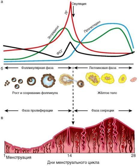 кровянистые выделения при овуляции