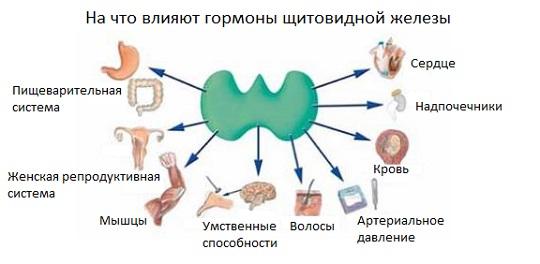 щитовидная железа и месячные