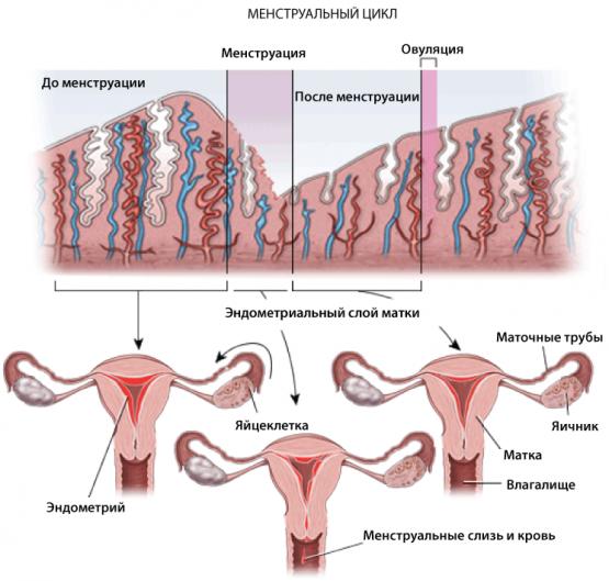 Восстановление менструального цикла после родов