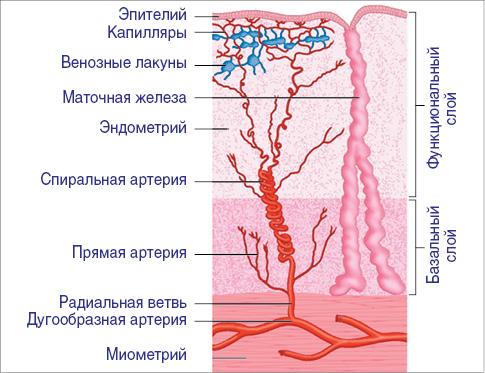 Менструация при гиперплазии