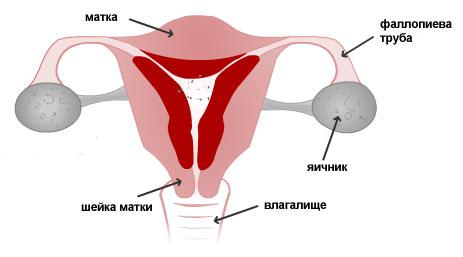 Толщина эндометрия по дням цикла