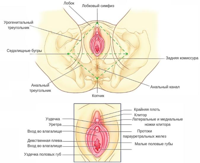 Строение наружных половых органов