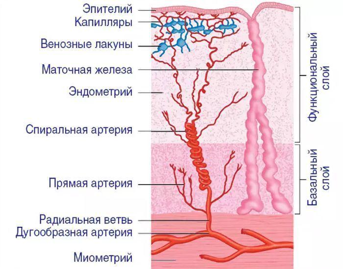 строение эндометрия в норме