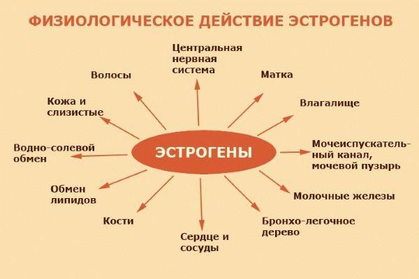 функции эстрогенов